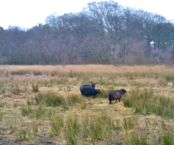 Some Hebridean sheep on Hermand Birchwood meadow